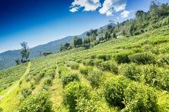 Κήπος τσαγιού Temi Ravangla, Sikkim, Ινδία Στοκ Εικόνες
