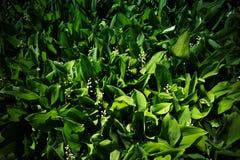 Κήπος των κρίνων της κοιλάδας Στοκ Φωτογραφίες
