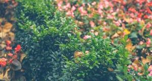 Κήπος φθινοπώρου Πράσινο πυξάρι και μαραιμένος λουλούδια Στοκ Φωτογραφία