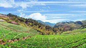 Κήπος φραουλών στο ANG Khang, Chiang Mai, Ταϊλάνδη Doi Στοκ Φωτογραφίες