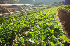 Κήπος φραουλών στο ANG Khang, Chiang Mai, Ταϊλάνδη Doi Στοκ Φωτογραφία