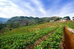 Κήπος φραουλών στο ANG Khang, Chiang Mai Doi Στοκ εικόνες με δικαίωμα ελεύθερης χρήσης