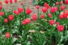 Κήπος χρονικών λουλουδιών άνοιξη Στοκ Φωτογραφίες