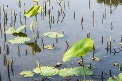 Κήπος λωτός-λουλουδιών Στοκ φωτογραφίες με δικαίωμα ελεύθερης χρήσης
