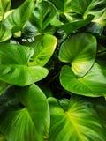 Κήπος ‹heart†‹plant†‹leaves†‹green†‹in†‹King†‹of†στοκ φωτογραφία με δικαίωμα ελεύθερης χρήσης