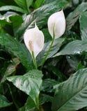 Κήπος Anthurium των λουλουδιών ή των λουλουδιών φλαμίγκο Στοκ φωτογραφία με δικαίωμα ελεύθερης χρήσης