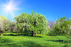 Κήπος Apple-δέντρων ανθών Στοκ Εικόνα
