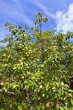 Κήπος Apple-δέντρων το καλοκαίρι Στοκ Εικόνα