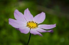 Κήπος Chamomile Στοκ Φωτογραφίες