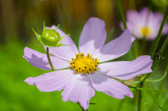 Κήπος Chamomile Στοκ φωτογραφίες με δικαίωμα ελεύθερης χρήσης