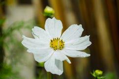 Κήπος Chamomile Στοκ εικόνα με δικαίωμα ελεύθερης χρήσης