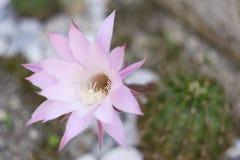 Κήπος Echinopsis Oxygona λουλουδιών κάκτων Στοκ Φωτογραφία
