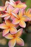 κήπος frangipani τροπικός Στοκ Φωτογραφίες