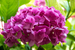 Κήπος Hydrangea Στοκ φωτογραφία με δικαίωμα ελεύθερης χρήσης