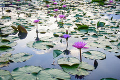 Κήπος Lotus Στοκ Εικόνα