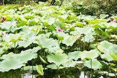 Κήπος Lotus Στοκ εικόνα με δικαίωμα ελεύθερης χρήσης