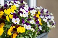 Κήπος pansy την άνοιξη Στοκ φωτογραφία με δικαίωμα ελεύθερης χρήσης