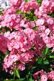 Κήπος phlox Στοκ εικόνα με δικαίωμα ελεύθερης χρήσης