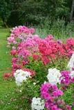 Κήπος phlox Στοκ φωτογραφία με δικαίωμα ελεύθερης χρήσης