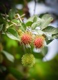 Κήπος rambutan Στοκ φωτογραφίες με δικαίωμα ελεύθερης χρήσης