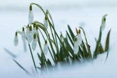 κήπος snowdrops Στοκ εικόνες με δικαίωμα ελεύθερης χρήσης