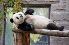 Κίνα Panda στο ζωολογικό κήπο του Πεκίνου Στοκ φωτογραφία με δικαίωμα ελεύθερης χρήσης