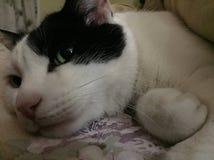 Κίνγκστον η γάτα Στοκ Εικόνες