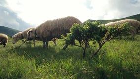 κίνηση αργή Τα πρόβατα τρέχουν μακριά στην κλίση των Καρπάθιων βουνών, άποψη μέσω του μικρού δέντρου φιλμ μικρού μήκους