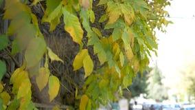Κίνηση δέντρων φυλλώματος φθινοπώρου με τον αέρα απόθεμα βίντεο