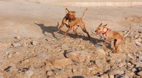 κίνηση δύο σκυλιών θαμπάδω&n Στοκ Εικόνες