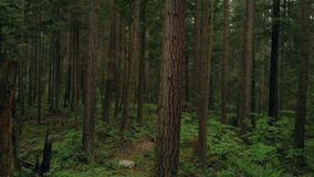 Κίνηση επάνω στα ψηλά δασικά δέντρα παρελθόντος απόθεμα βίντεο