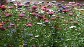 Κίνηση και μετακίνηση του ζωηρόχρωμου λουλουδιού μαργαριτών