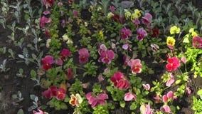 Κίνηση μετά από ένα κρεβάτι λουλουδιών με τις τουλίπες σε έναν δημόσιο βοτανικό κήπο Μετακινηθείτε τον πυροβολισμό απόθεμα βίντεο