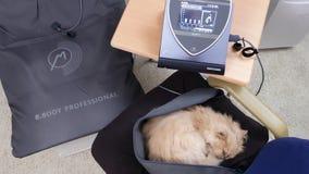 Κίνηση της νυσταλέας περσικής γάτας στην καρέκλα κάνοντας τη θεραπεία Bemer στο σπίτι απόθεμα βίντεο