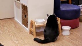 Κίνηση της τιγρέ γάτας που τρώει τα τρόφιμα στο σπίτι φιλμ μικρού μήκους