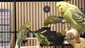 Κίνηση της φαντασίας parakeet στο κλουβί μέσα στο κατάστημα petsmart απόθεμα βίντεο
