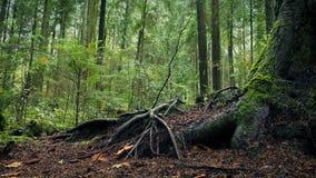Κίνηση των προηγούμενων μεγάλων ριζών δέντρων στο δάσος απόθεμα βίντεο