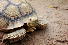 Κίνηση χελωνών αργή στο ζωολογικό κήπο Στοκ Εικόνες