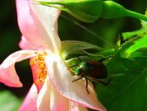 Κίνδυνοι κήπων - ιαπωνικός κάνθαρος στο ροδαλό Μπους και τα ρόδινα τριαντάφυλλα Στοκ εικόνα με δικαίωμα ελεύθερης χρήσης