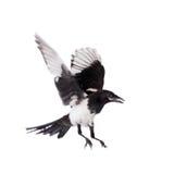 Κίσσα που απομονώνεται κοινή στο λευκό Στοκ Φωτογραφία