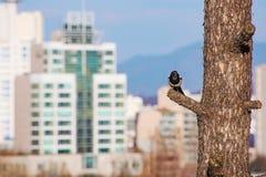 Κίσσα που σκαρφαλώνει σε ένα δέντρο με τα κτήρια πόλεων στο υπόβαθρο στοκ εικόνες