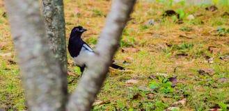 Κίσσα που στέκεται στο έδαφος που πλαισιώνεται μεταξύ δύο κλάδων ενός δέντρου Στοκ φωτογραφίες με δικαίωμα ελεύθερης χρήσης