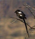 Κίσσα shrike που σκαρφαλώνει στο δέντρο αγκαθιών στοκ φωτογραφίες με δικαίωμα ελεύθερης χρήσης