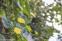 Κίτρινα άγρια λουλούδια νησιών Ometepe Στοκ φωτογραφία με δικαίωμα ελεύθερης χρήσης