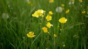 Κίτρινα άγρια λουλούδια που ταλαντεύονται στον αέρα σε ένα κλίμα της πράσινης χλόης απόθεμα βίντεο