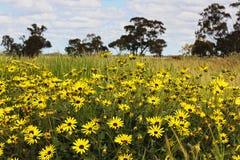Κίτρινα άγρια λουλούδια ενάντια στα δέντρα γόμμας και τον μπλε, νεφελώδη ουρανό Στοκ εικόνες με δικαίωμα ελεύθερης χρήσης
