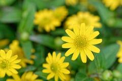 Κίτρινα άνθη Στοκ εικόνα με δικαίωμα ελεύθερης χρήσης