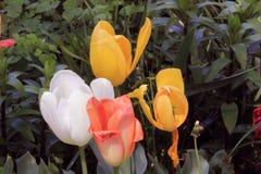 Κίτρινα, άσπρα, και ρόδινα λουλούδια Στοκ Εικόνες