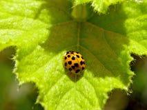 Κίτρινα έντομα Ladybug στοκ φωτογραφία με δικαίωμα ελεύθερης χρήσης