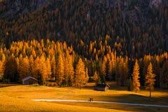 Κίτρινα αγριόπευκα που φωτίζονται από τον ήλιο αύξησης, δολομίτες, Ιταλία Στοκ εικόνες με δικαίωμα ελεύθερης χρήσης